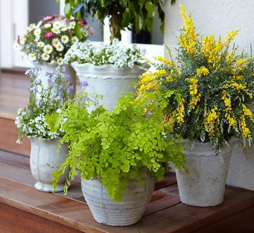 Mosquito-Repelling Potted Plants