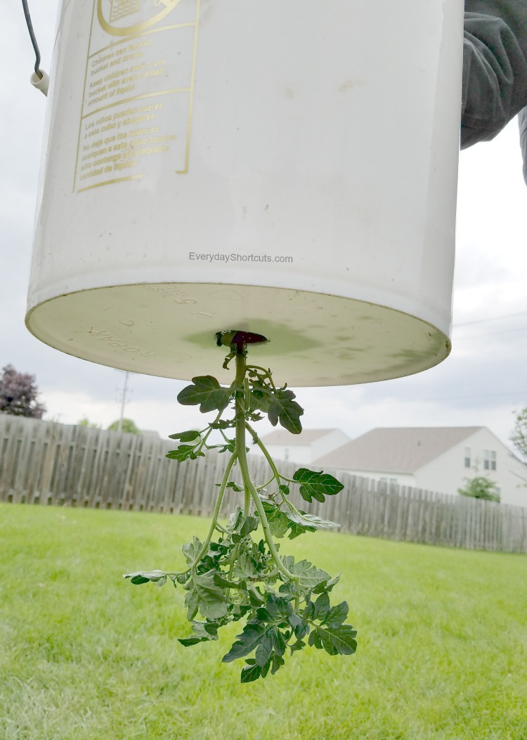 tomato-plant-inside-the-5-gallon-bucket